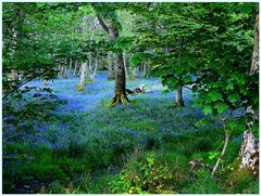 Be Free - Bluebell Wood