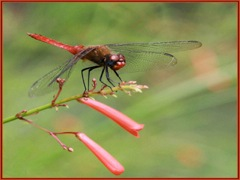 Red Meadowhawk